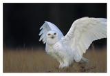 Snowy Owl adult, circumpolar species, British Columbia, Canada Imágenes por Tim Fitzharris
