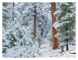 Ponderosa Pine forest in snow, Grand Canyon National Park, Arizona Prints by Tim Fitzharris