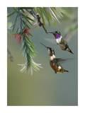 White-bellied Woodstar hummingbird male and female feeding on flower, Costa Rica Affiches par Tim Fitzharris