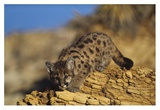 Mountain Lion or Cougar kitten with speckled coat, North America Prints by Tim Fitzharris