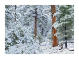Ponderosa Pine forest in snow, Grand Canyon National Park, Arizona Posters by Tim Fitzharris