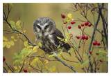 Northern Saw-whet Owl perching in a wild rose bush, British Columbia, Canada Posters by Tim Fitzharris
