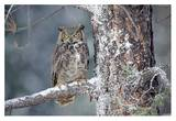 Great Horned Owl adult perching in a snow-covered tree, British Columbia, Canada Posters by Tim Fitzharris