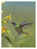 Andean Emerald hummingbird feeding on a yellow flower, Ecuador Art by Tim Fitzharris