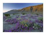 Sand Verbena and Desert Sunflowers Anza-Borrego Desert State Park, California Posters by Tim Fitzharris