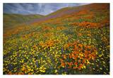 Hills covered with California Poppies and Lupine Tehachapi Mountains, California Prints by Tim Fitzharris