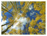 Looking up at blue sky through a canopy of fall colored Aspen trees, Colorado Prints by Tim Fitzharris