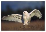 Snowy Owl adult balancing on a stump amid dry grass, British Columbia, Canada Posters by Tim Fitzharris