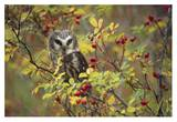 Northern Saw-whet Owl perching in a wild rose bush, British Columbia, Canada Posters van Tim Fitzharris