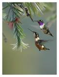 White-bellied Woodstar hummingbird male and female feeding on flower, Costa Rica Print by Tim Fitzharris