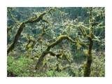 Mossy Oak trees at Eagle Creek, springtime, Columbia River Gorge, Oregon Posters by Tim Fitzharris