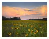 Common Sunflower field near Flint Hills National Wildlife Refuge, Kansas Poster par Tim Fitzharris