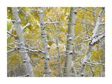 Snow-covered Aspen forest near Kebbler Pass, Gunnison National Forest, Colorado Posters by Tim Fitzharris