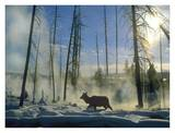 Elk female in the snow with steam rising from nearby hot spring, Yellowstone National Park, Wyoming Print by Tim Fitzharris