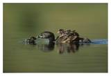Pied-billed Grebe parent with two chicks on its back and one learning to swim, New Mexico Poster par Tim Fitzharris