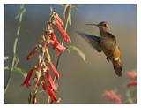 Broad-tailed Hummingbird feeding on flower nectar, Santa Fe, New Mexico Poster by Tim Fitzharris