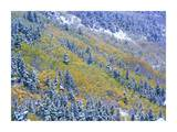 Aspen and Spruce trees dusted with snow, Rocky Mountain National Park, Colorado Print by Tim Fitzharris