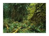 Lush vegetation in the Hoh Rain Forest, Olympic National Park, Washington Posters by Tim Fitzharris