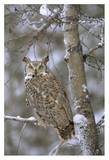 Great Horned Owl in its pale form perching in a snow-covered tree, British Columbia, Canada Poster van Tim Fitzharris