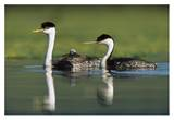 Western Grebe couple with one parent carrying chick on its back, New Mexico Affiches par Tim Fitzharris
