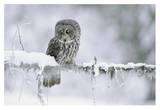 Great Gray Owl perching on a snow-covered branch, British Columbia, Canada Print by Tim Fitzharris