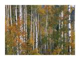 Aspen trees in fall colors, Lost Lake, Gunnison National Forest, Colorado Prints by Tim Fitzharris