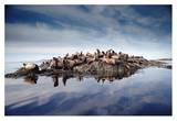 Steller's Sea Lion group hauled out on coastal rocks, Brothers Island, Alaska Print by Tim Fitzharris