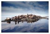 Steller's Sea Lion group hauled out on coastal rocks, Brothers Island, Alaska Print by Tim Fitzharris
