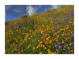 California Poppy and Desert Bluebells carpeting a spring hillside, California Prints by Tim Fitzharris