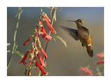 Broad-tailed Hummingbird feeding on flower nectar, Santa Fe, New Mexico Prints by Tim Fitzharris