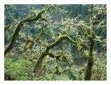 Mossy Oak trees at Eagle Creek, springtime, Columbia River Gorge, Oregon Reprodukcje autor Tim Fitzharris