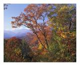 Deciduous forest in autumn, Blue Ridge Parkway, Great Smoky Mountains, North Carolina Posters by Tim Fitzharris