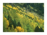 Aspen grove in fall colors, Gunnison National Forest, Colorado Prints by Tim Fitzharris