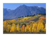 Ranger Peak and Aspen forest in autumn, Grand Teton National Park, Wyoming Posters by Tim Fitzharris