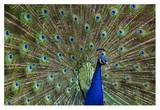 Indian Peafowl male with tail fanned out in courtship display, native to Asia Print by Tim Fitzharris