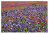 Hill Country wildflowers including Sand Bluebonnets and Paintbrush, Texas Prints by Tim Fitzharris