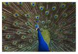 Indian Peafowl male with tail fanned out in courtship display, native to Asia Posters by Tim Fitzharris