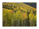 Aspen trees in autumn, Santa Fe National Forest near Santa Fe, New Mexico Prints by Tim Fitzharris