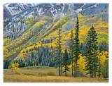 Aspen grove in fall colors, Maroon Bells, Snowmass Wilderness, Colorado Prints by Tim Fitzharris