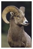 Bighorn Sheep male portrait, Banff National Park, Alberta, Canada Prints by Tim Fitzharris