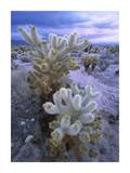 Teddy Bear Cholla or Jumping Cholla under stormy skies, Joshua Tree National Park, California Prints by Tim Fitzharris