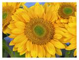 Common Sunflower group showing symmetrical seed heads, North America Posters by Tim Fitzharris