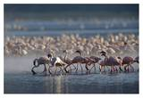 Lesser Flamingo group feeding enmass in the shallow waters of Lake Bogoria, Kenya, Africa Posters by Tim Fitzharris