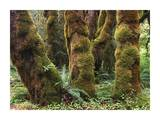 Mossy big-leaf maples, Hoh Rainforest, Olympic National Park, Washington Art by Tim Fitzharris