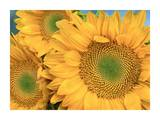 Common Sunflower group showing symmetrical seed heads, North America Poster di Tim Fitzharris