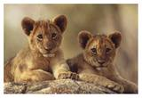 African Lion cubs resting on a rock, Hwange National Park, Zimbabwe, Africa Print by Tim Fitzharris