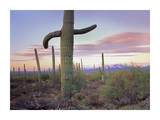 Saguaro cactus field with Sierrita Mountains in the background, Saguaro National Park, Arizona Prints by Tim Fitzharris