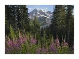 Fireweed flowering and Mount Rainier, Mount Rainier National Park, Washington Posters by Tim Fitzharris