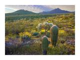 Ajo Mountains, Organ Pipe Cactus National Monument, Sonoran Desert, Arizona Prints by Tim Fitzharris