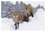 Red Fox pair in snow fall showing the black and red markings of their cross phase, Montana Prints by Tim Fitzharris